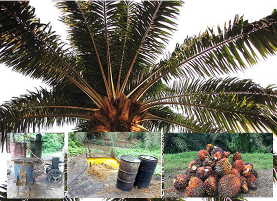 Nigeria local traditional palm oil extraction process